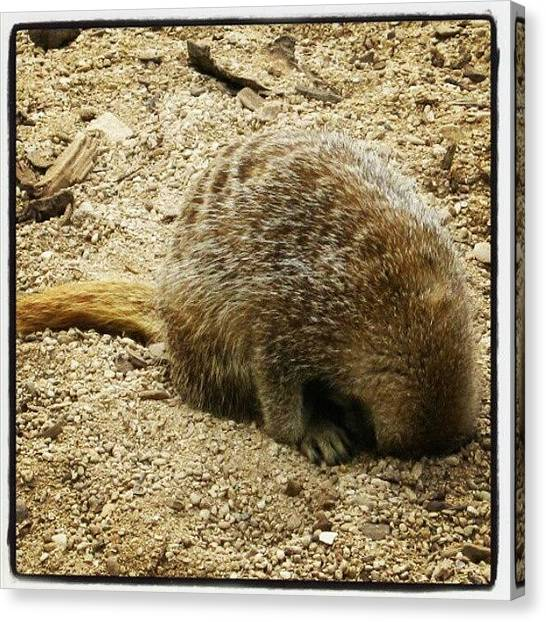 Meerkats Canvas Print - Senior Management -the Meerkat In Charge by Lottie H