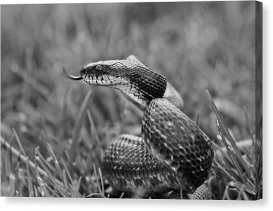 Snake Canvas Print - Sense by Betsy Knapp
