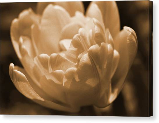 Sepia Tulip Frill Canvas Print