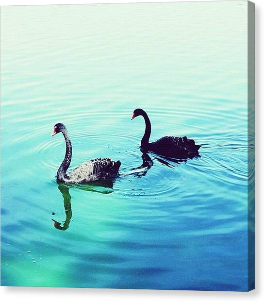 Swans Canvas Print - Series 2/3: | Two Is Just About Right | by Istories Chi