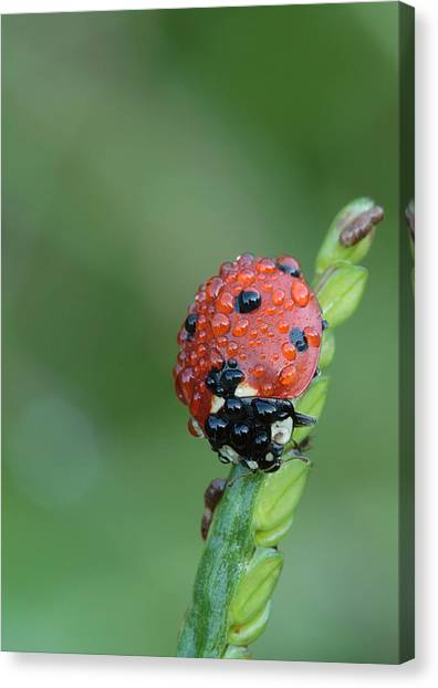 Seven-spotted Lady Beetle On Grass With Dew Canvas Print