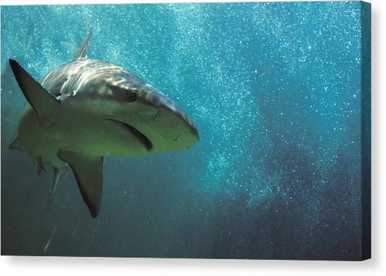 Shark Attack Canvas Print by Carl Purcell