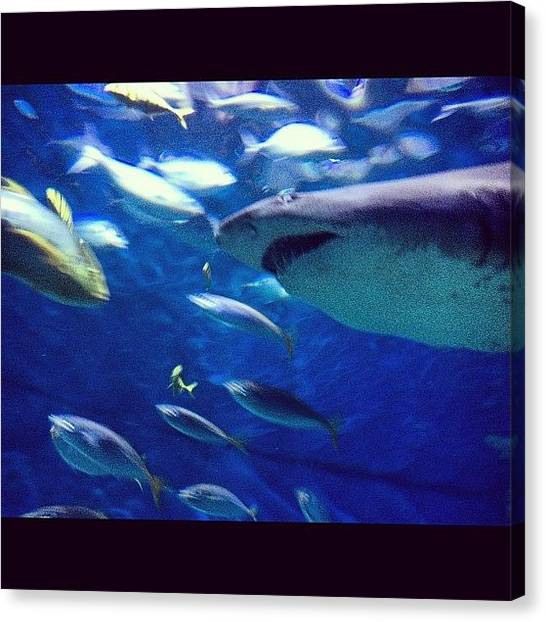 Hammerhead Sharks Canvas Print - Shark Bait Hoo Ha Ha by Logan Mcpherson
