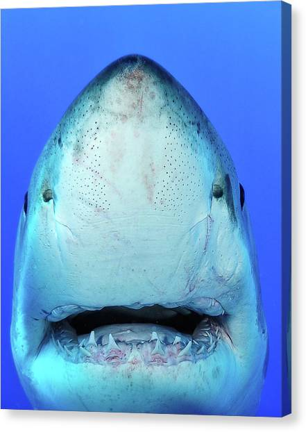 Sharks Canvas Print - Shark by Don Carpenter of eurisko Photography