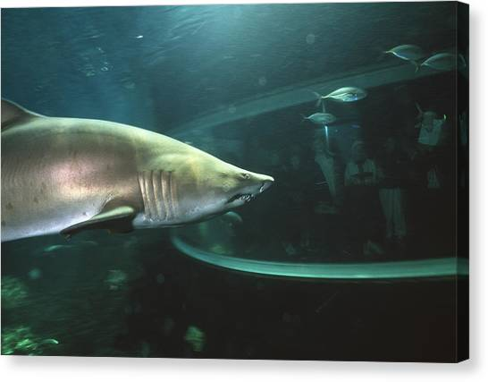 Tiger Sharks Canvas Print - Shark In Aquarium by Alexis Rosenfeld