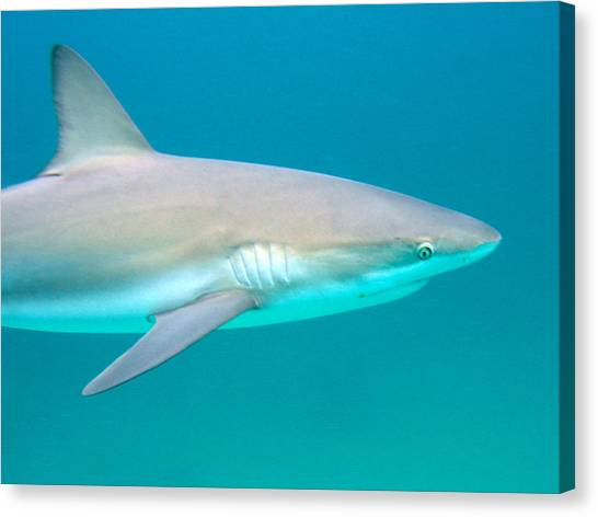 Shark Profile Canvas Print by Ted Papoulas