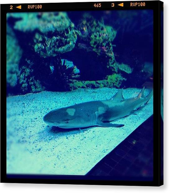 Reef Sharks Canvas Print - #shark #sharktank by Cortney Herron