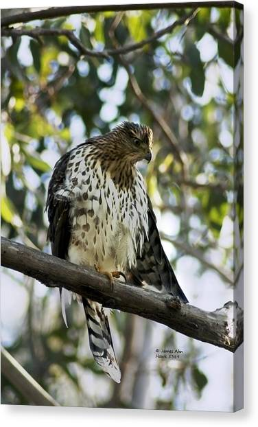 Sharp Shinned Hawk - Winged Stare -5459 Canvas Print