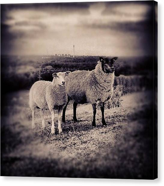 Back Canvas Print - #sheep #black #white #grass by Ole Back