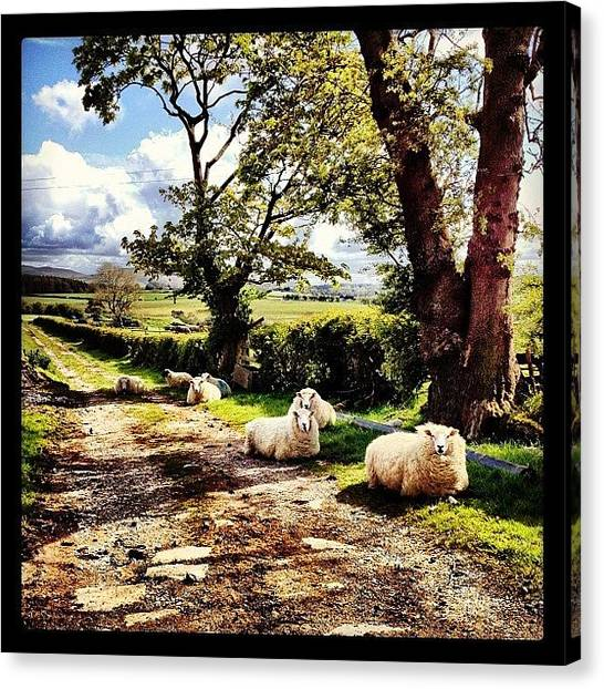 Farm Animals Canvas Print - #sheep #flock #baaa #animal #grass by Miss Wilkinson