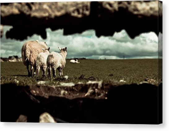 Sheep In The Wall Canvas Print