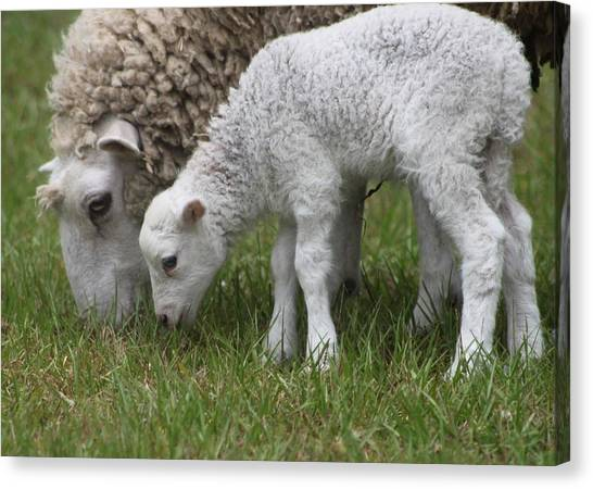 Sheep Mom And Lamb Grazing Canvas Print