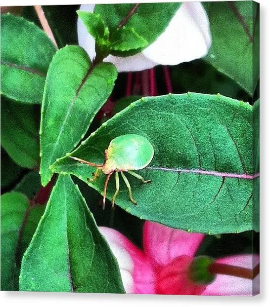 Beetles Canvas Print - #sheildbug #sheildbeetle #beetle #bug by Boo Mason