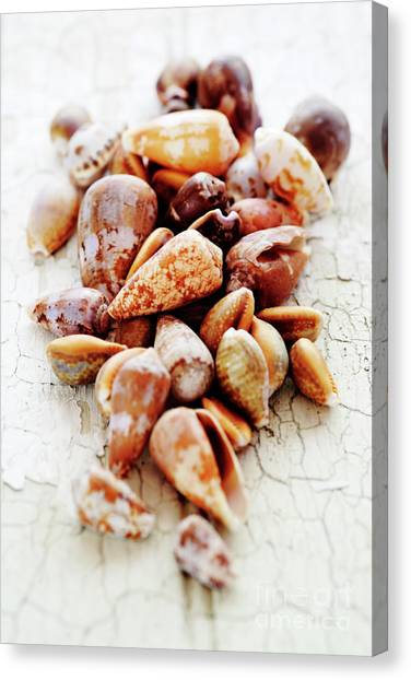 Cowry Canvas Print - Shells by Neil Overy