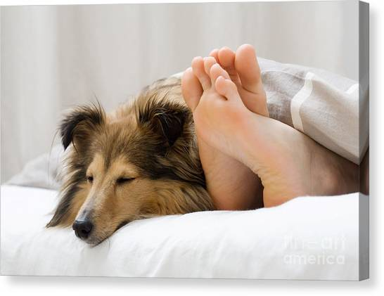Sheltie Sleeping With Her Owner Canvas Print