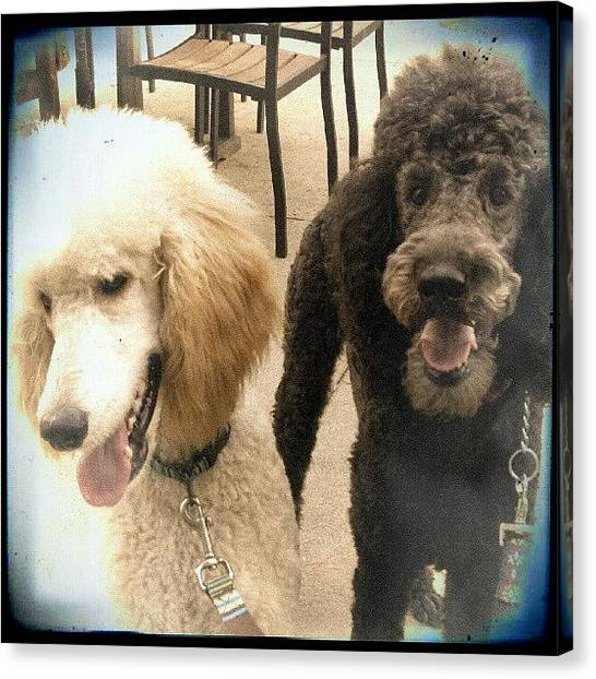 Poodles Canvas Print - Sherlock & Dexter At Yappy Hour! 7-3-12 by Natalia D