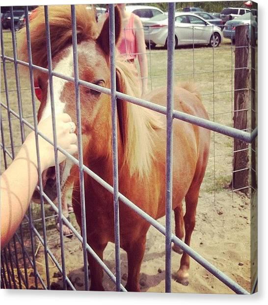 Horse Farms Canvas Print - Shetland Pony by Kelly Diamond