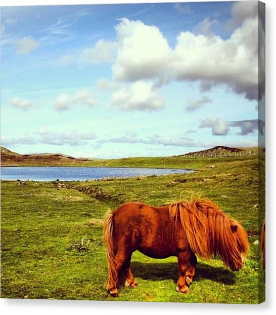 Ponies Canvas Print - Shetland's Pony by Luisa Azzolini
