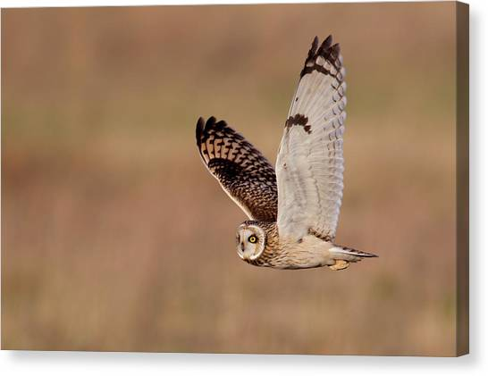 Owls Canvas Print - Short-eared Owl by Andrew Sproule