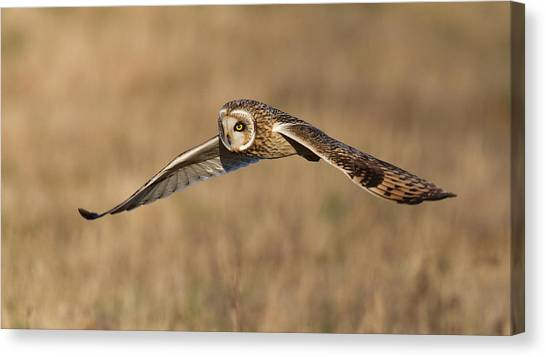 Short Eared Owl Hunting Canvas Print