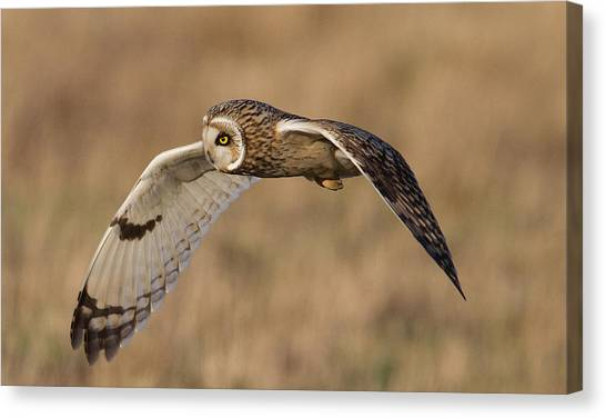 Short-eared Owl In Flight Canvas Print
