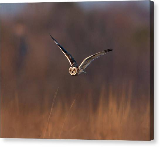 Owls Canvas Print - Short-eared Owl by Photo by DCDavis