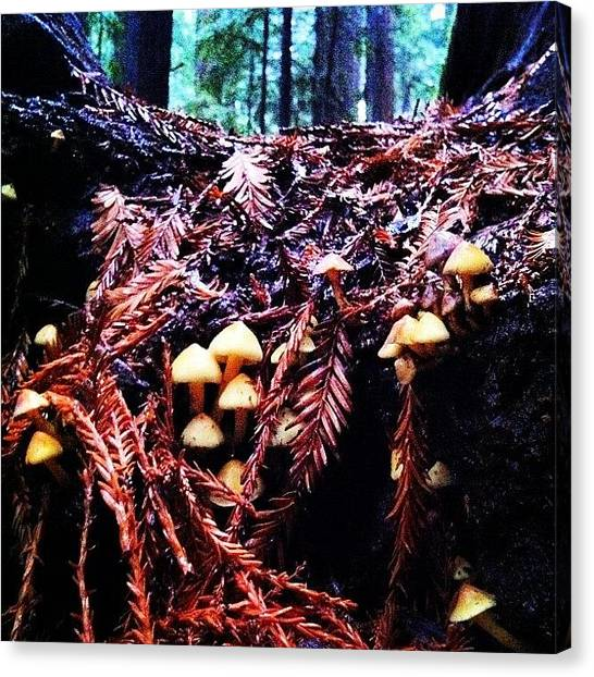 Redwood Forest Canvas Print - #shrooms Growing On #treeroots #tree by Payden Rodman