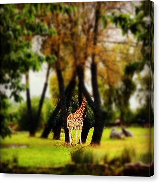 Giraffes Canvas Print - Shy Giraffe.... One Of The Most by Ady Griggs