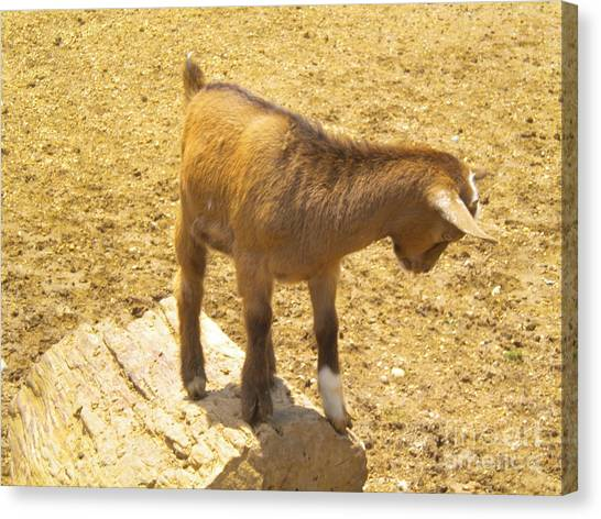 Pigmy Canvas Print - Shy Goat by Tessa Priddy