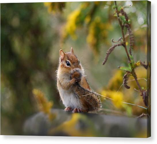 Squirrels Canvas Print - Shy Little Chipmunk by Susan Capuano