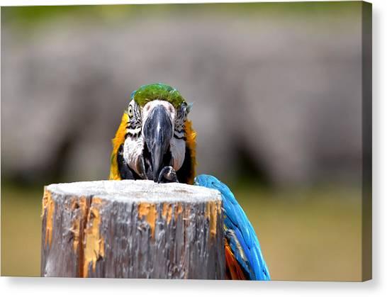 Shy Macaw Canvas Print