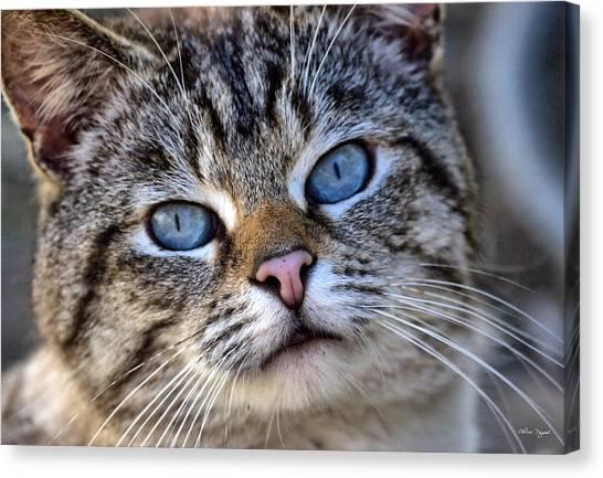 Siamese Feral Cat Canvas Print