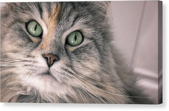 Siberian Cats Canvas Print - Siberian Cat by Giuseppe Esposito