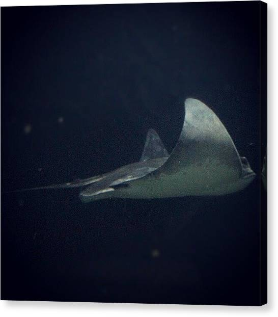 Ocean Animals Canvas Print - Side View Of A Sting Ray :) #stingray by Saul Jesse Beas