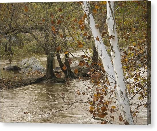 Silver Birch By Potomac Canvas Print