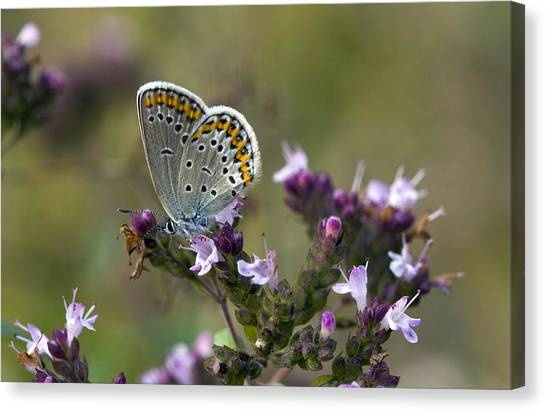Silver-studded Blue On Marjoram Canvas Print by Bob Gibbons