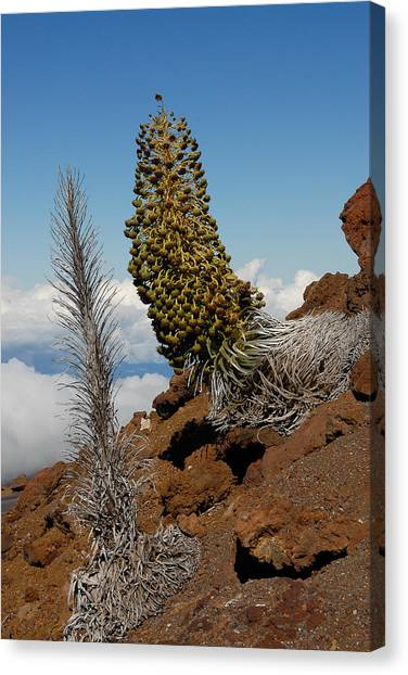 Silversword On Haleakala Canvas Print by Scott Massey