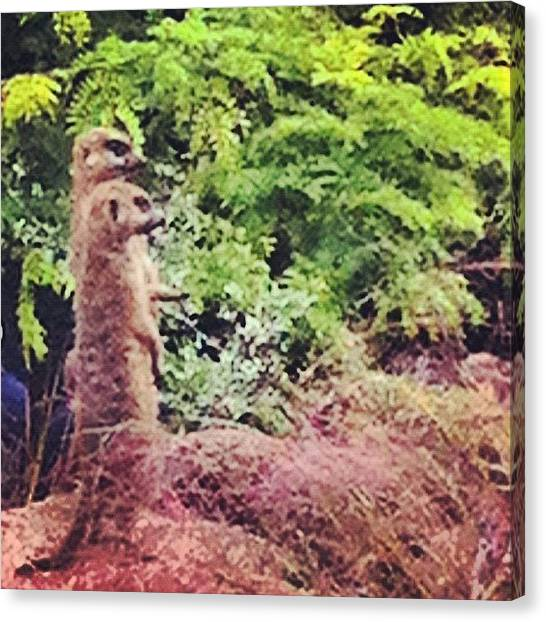 Meerkats Canvas Print - Simples! by Jude L