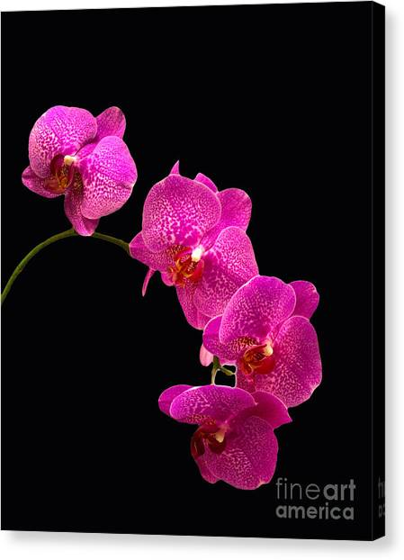 Simply Beautiful Purple Orchids Canvas Print