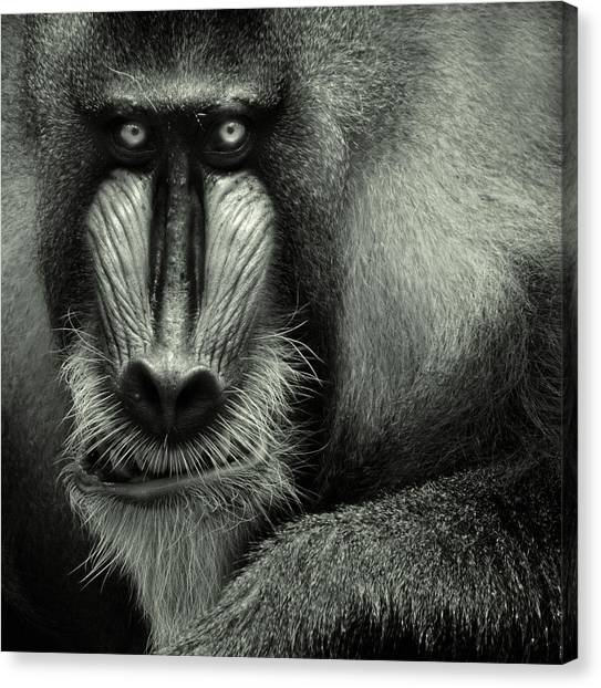 Monkeys Canvas Print - Singapore Zoo, Mandrill by By Toonman