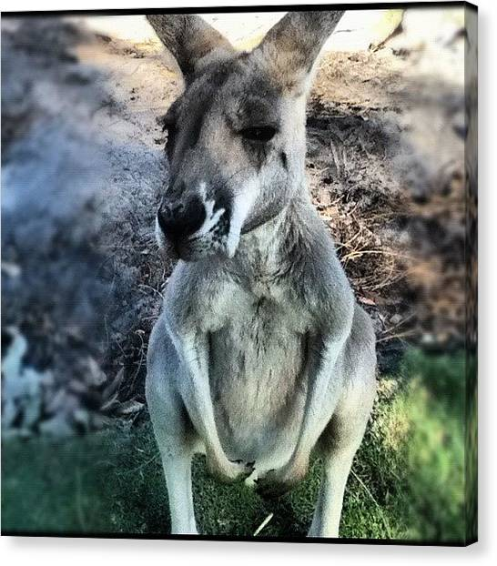 Kangaroo Canvas Print - Sir by Jessica Daubenmire