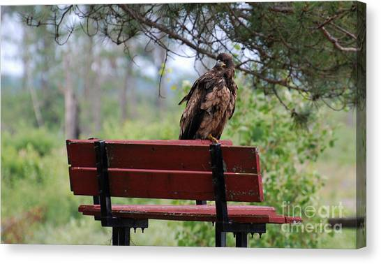 Sitting Eagle Canvas Print by Whispering Feather Gallery