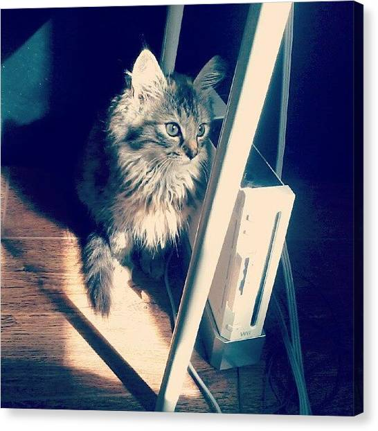 Persians Canvas Print - Sitting In The Sun. #midna #kitten by Courtney Williams