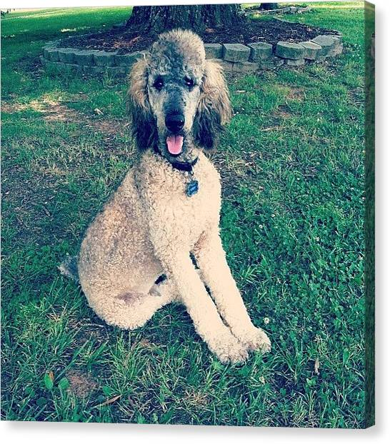Poodles Canvas Print - Sitting Pretty by Lori Lynn Gager