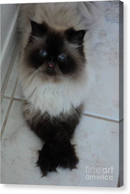 Himalayan Cats Canvas Print - Sitting Pretty My Cat Samantha by Carla Carson