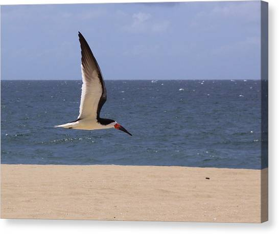 Skimmer In Flight Canvas Print
