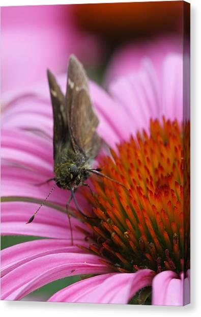 Skipper Butterfly Canvas Print by Juergen Roth
