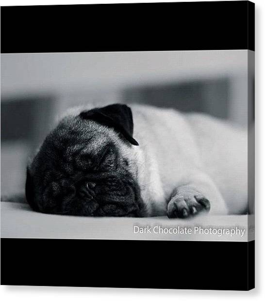 Pugs Canvas Print - Sleep Like A Baby by Zachary Voo