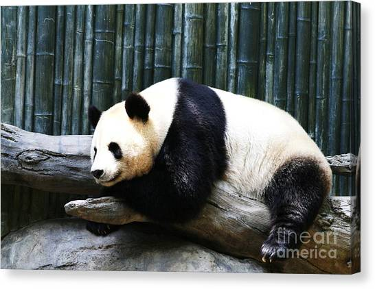 Sleeping Panda Canvas Print