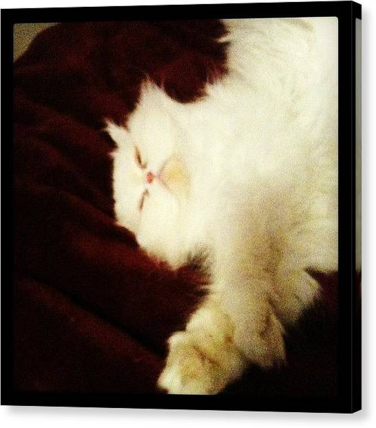 Persians Canvas Print - Sleeping Together Too by Maria Cristina Antunes